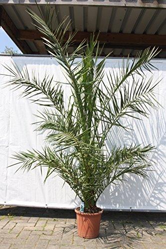 Phönix Canariensis, Kanarische Dattelpalme, 180 cm, 20cm stammhöhe