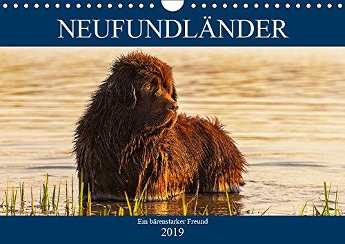 Neufundländer - Ein bärenstarker Freund (Wandkalender 2019 DIN A4 quer): Der braune Neufundländer in 13 hinreißenden Bildern vorgestellt (Monatskalender, 14 Seiten ) (CALVENDO Tiere)
