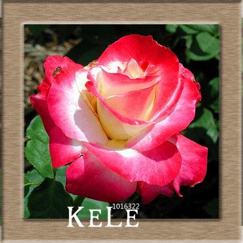 big-white-red-edge-semillas-de-rose-jardin-semillas-de-plantas-en-macetas-semillas-color-de-rosa-flo