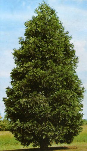 1 Unze (900 Seeds): Duft-Zeder, Cocedrus decurrens, Samen (Hardy Fragrant Evergreen) by Farmerly -