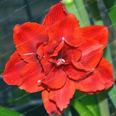 Galleria fotografica I veri Amaryllis lampadine (non Hippeastrum Seeds) Bella Bonsai Bulbi da fiore in vaso Barbados Lily giardino della casa Pianta -2 Bulbo 13
