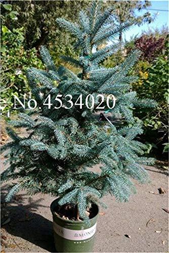 AGROBITS Saat: 50 Stück Rare Fichte Evergreen Tanne Pflanze Bonsai Topf Pine Weihnachtsbaum für Gartenpflanzen: 17