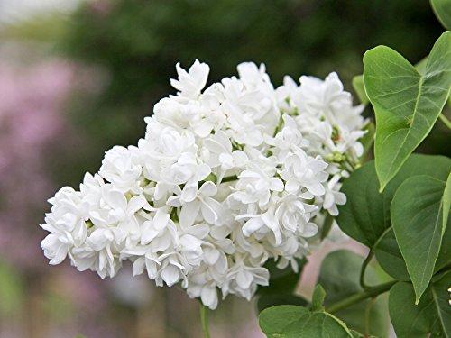 Edelflieder – Weiße, prachtvolle Blüte – 'Madame Lemoine' – Syringa vulgaris – Containerware 40-60 cm – Garten von Ehren