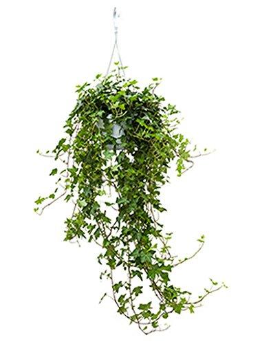 Efeu Pittsburgh 60-80 cm im 17 cm Topf hängende Zimmerpflanze für die Fensterbank Hedera helix 1 Pflanze (Hängende Zimmerpflanzen)