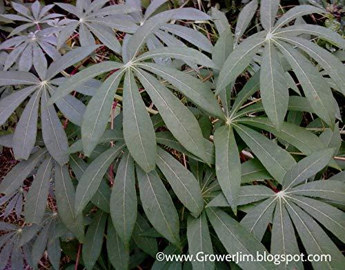 Las semillas orgánicas: 20 esquejes ava/Yuca (Manihot esculenta) esquejes por Farmerly
