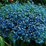 1 , A) 5000 Seeds : Outsidepride Lobelia Blue Carpet - 5000 Seeds