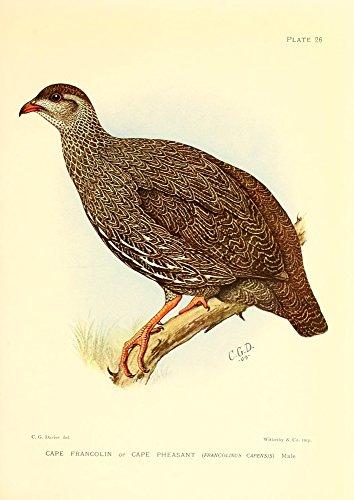 Sergeant Charles G. Davis - The Game-Birds & Water-Fowl of South Africa 1912 Cape Francolin Kunstdruck (45,72 x 60,96 cm) -
