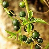Portal Cool 50 Samen von Gynostemma pentaphyllum 7 Leave, Jiaogulan, Unsterblichkeitskraut