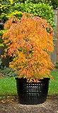 Acer palmatum Ueno Yama - oranger asiatischer Fächerahorn - verschiedene Größen (60-70cm - Topf Ø 17cm)