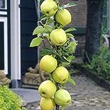 """Amazon.de Pflanzenservice Säulenapfel , Apfelbaum, """"Goldbäckchen"""" (auch """"Goldspur""""),  1 Pflanze, ca. 60 - 80 cm Stamm, 5 - 7 Liter Container"""
