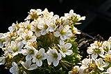 Saxifraga x arendsii 'Schneezwerg' - 3 Pflanzen im 0,5 lt. Vierecktopf