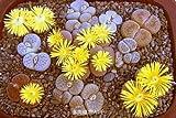 100 % autentici semi Mix Lithops Piante succulente seme piante rare, bonsai sementi biologiche