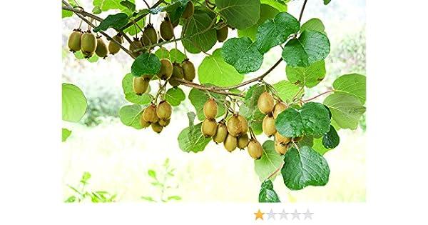 "50 Samen /""Selbstbefruchtend/"" Mini Kiwi Absolut WINTERHART IN Deutschland"