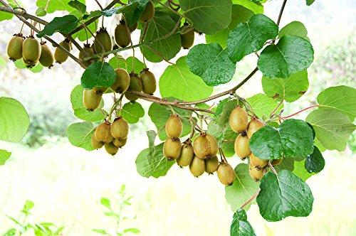 Mini Kiwi 'Issai' 10 Samen, Kiwibeeren, WINTERHARD - 25 deg C,Super süß, produktiv, essen sie wie Trauben