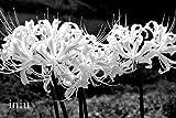 PLAT FIRM KEIM SEEDS: 4 White Lycoris Zwiebeln, Lycoris Radiata Blumenzwiebeln