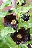 Schwarze Stockrose Alcea rosea v. nigra 20 Samen