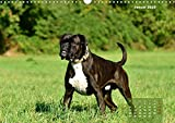 Einmal Boxer - immer Boxer (Wandkalender 2020 DIN A3 quer)