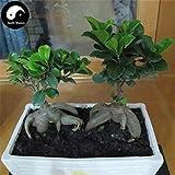 ShopMeeko Seeds:Buy Ficus Microcarpa Tree Semente 50pcs Plant Roots Ginseng Ficus Bonsai