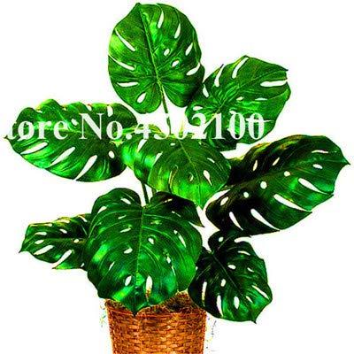 Bloom Green Co. 50 Pcs mixte Palmier tortue Feuilles Bonsai, Monstera Seedssplants Bonsai pot, Monstera Ceriman, Mixte vivace fleur rare: 12