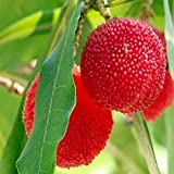 10pcs Red Bayberry s٤ sauer Yumberry Waxberry Myrica Rubra Seeds