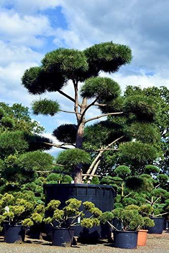 Qulista Samenhaus - 50pcs Rarität Kiefer Bonsai Pon Pon Formgehölz, immergrün Formgehölze Baumsamen winterhart mehrjährig für Garten, Balkon, Terrasse