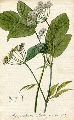 Aegopodium Podagraria. Altkolorierter Kupferstich; No. 373 (Aus: Flora Batava, of afbeeling en beschrifjving van nederlandsche gewassen (...)).