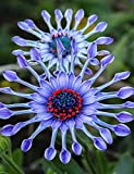 Soteer Garten- Vergissmeinnicht Blau Wiesen-Gänseblümchen Blumensamen Blausternchen Saatgut Zierpflanzen