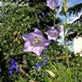 Pfirsichblättrige Glockenblume 'Grandiflora Coerulea' - Campanula persicifolia 'Grandiflora Coerulea' - violettblaue, großblütige Sorte - Bienenweide von Native Plants - Du und dein Garten