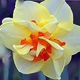 Yukio Samenhaus - Chinsesich 100 Stück Duftend Narzisse tazetta Osterglocken osterglocken Blumenzwiebeln für Treiberei, Glück und Gesundheit bringen