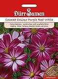 Dürr-Samen Cosmea Cosimo Purple Red-White