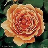Edelrose Ashram Orange - Duftrose mittel-stark duftend - Rose in Kupfer-Ton - Pflanze im 5 Liter Container von Garten Schlüter - Pflanzen in Top Qualität