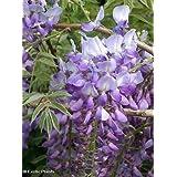 Wisteria sinensis - Wisteria china - 4 semillas