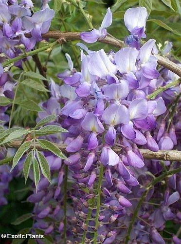 tropica-tree-wisteria-bolusanthus-speciosus-15-seeds-bonsai
