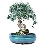 Bonsái, Olivo, Olea europaea sylvetris, 16 años, altura 31 cm