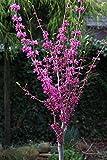 Chinesischer Judasbaum, Cercis canadensis 'Avondale', Höhe: 130-140 cm