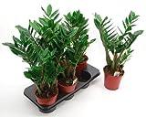 Zamioculcas, 14cm Topf, 1 Pflanze ohne Topf und Deko