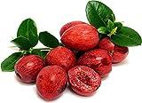PLAT FIRM GERMINATIONSAMEN: Natal Plum Tree - Carissa horizontalis - 4