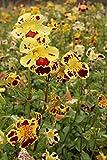 2er-Set - winterhart! - Mimulus tigrinus - getigerte Gauklerblume, gelb-rot gefleckt - Wasserpflanzen Wolff