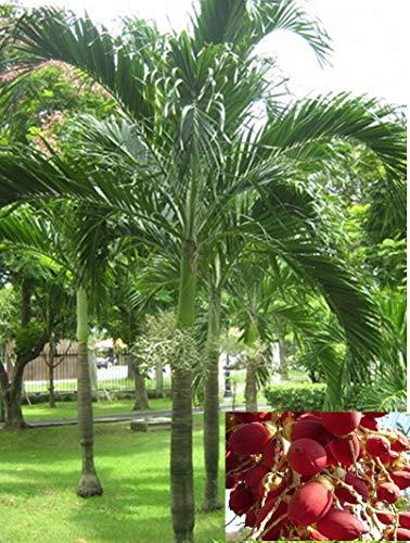 PLAT FIRM GERMINATIONSAMEN: 10 Samen Manila Palm, Weihnachtspalme, Wodyetia bifurcata, Foxtail Palm