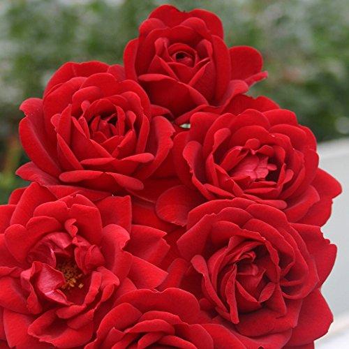 Kordes Beetrose, rosa,