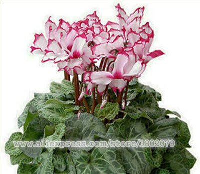Cyclamen, graines cyclamen fleurs, graines de cyclamen de -100seeds Lapin de fleur