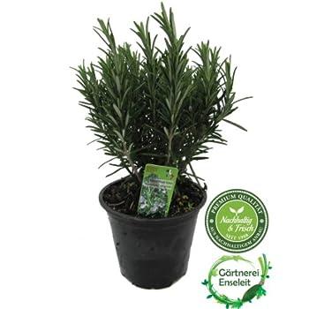 XXL Premium Rosmarin Topf - Rosmarinus officinalis