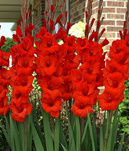 Easy Gardening Red Gladiolus (Sword Lily) Flower Bulbs - High Flowering Lily...