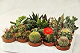 lot de 20 Cactus et Succulentes Rares Differentes diam 5,5 cm production Viggiano Cactus avec et sans épines Mini set