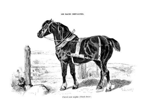 Les races chevalines - Gravure cheval noir Anglais