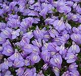 Violettes Lippenmäulchen / Mazus Reptans violett im 9x9 cm Topf