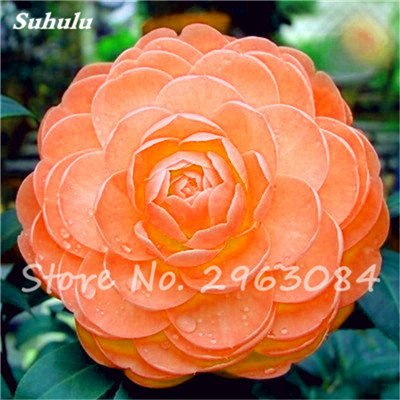 5 pièces rares Graines arc-en-Camellia fleurs, plantes en pot de bricolage, Lumière Parfumée Fleur intérieur, intérieur Bonsai planter des fleurs Semences 3
