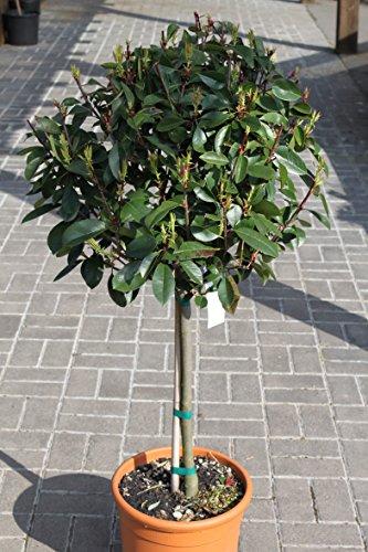 plante-de-jardin-photinia-fraserii-red-robin-quart-de-tige-hauteur-12-m