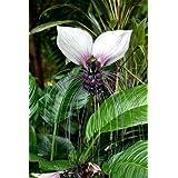 Tacca nivea - fleur chauve-souris blanche - 5 graines