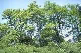 Götterbaum ** Ailanthus altissima ** (100 Stück Götterbaum 1j. 1+0 30-50 cm )